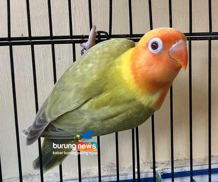 Download 43+ Foto Gambar Burung Lovebird Warna Merah   Free