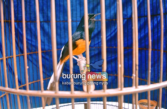 Kontes Bnr Akbp Kalijudan Pikat Hati Agus Rea Reo Mb Anak Mami Langsung Di Take Over 50 Juta Burungnews