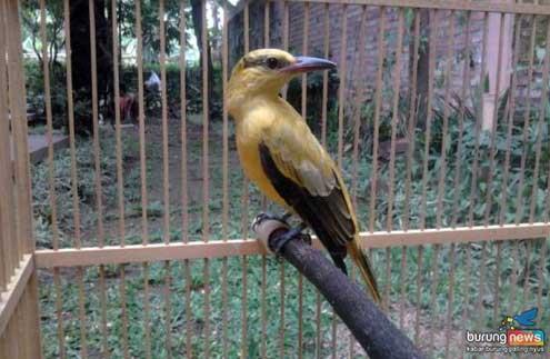 Burung Kepodang Hanya Ada Satu Jenis Tiga Kali Ganti Warna Beda Harga Pasaran Burungnews