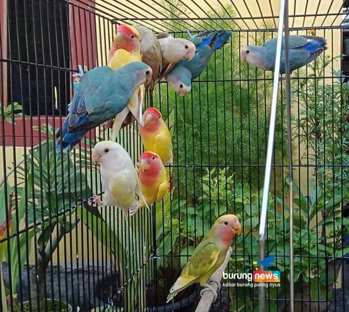Melatih Freefly Pada Love Bird Parkit Bersama Trie Wahyoedi Jff Vidio Murah Mudah Dan Mengasyikkan Burungnews