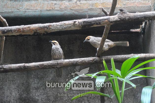 Cara Kilat Sukses Breeding Cucakrawa Burungnews