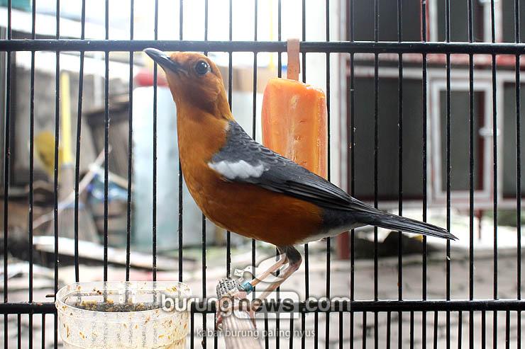 Anis Merah Cut Tari Milik Ronny Perkasa Ini Lho Rahasia Jadi Juara Burungnews