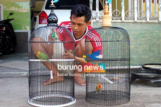Danang Cathouse Jombang Bikin Love Bird Paud Rajin Ngekek Dan Panjang Burungnews