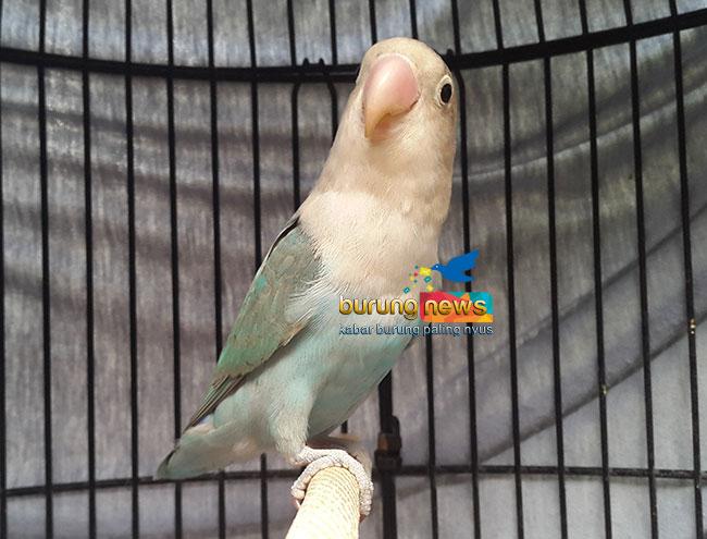 Love Bird Paud Rajin Ngekek Durasi Panjang Kuncinya Pakai Beras