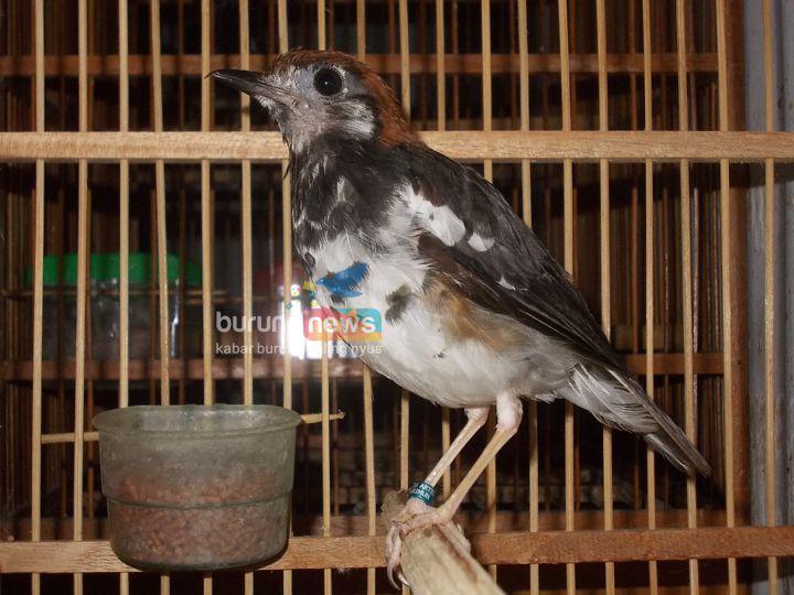 Anis Kembang Mabung Bisa Diternakkan Kenapa Tidak Burungnews