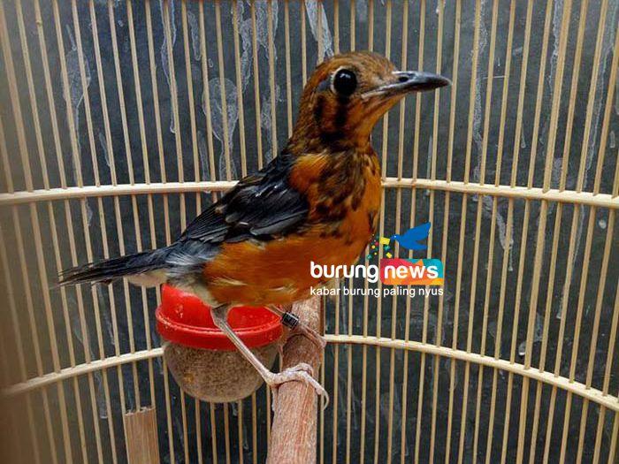 Damdam Permadi Lembang Cara Cespleng Memilih Trotolan Anis Merah Burungnews