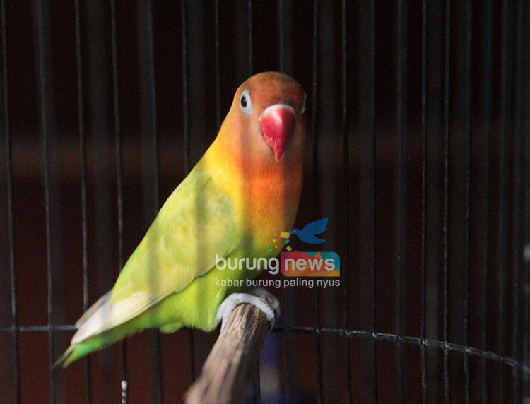 Andi Janu Klaten Bersama Adelia Buktikan Love Bird Fighter Masih Bertaji Burungnews