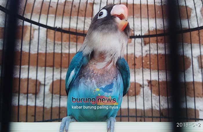 Mengatasi Love Bird Cabut Bulu Cabul Itu Karakter Sulit Disembuhkan Benarkah Burungnews