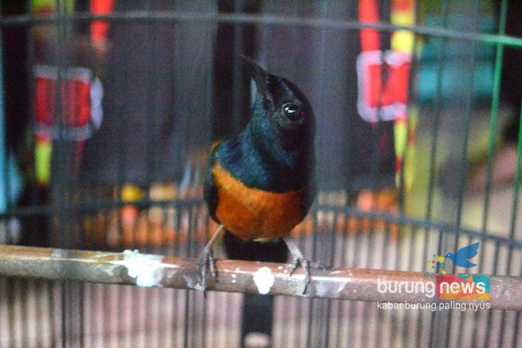 Uzee Bandung 15 Cara Memilih Murai Batu Bakalan Untuk Lomba Burungnews
