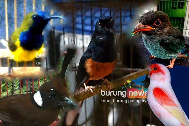 Abay Bandung 10 Jenis Master Yang Dianjurkan Dan Yang Perlu Dihindari Agar Murai Batu Makin Wow Burungnews