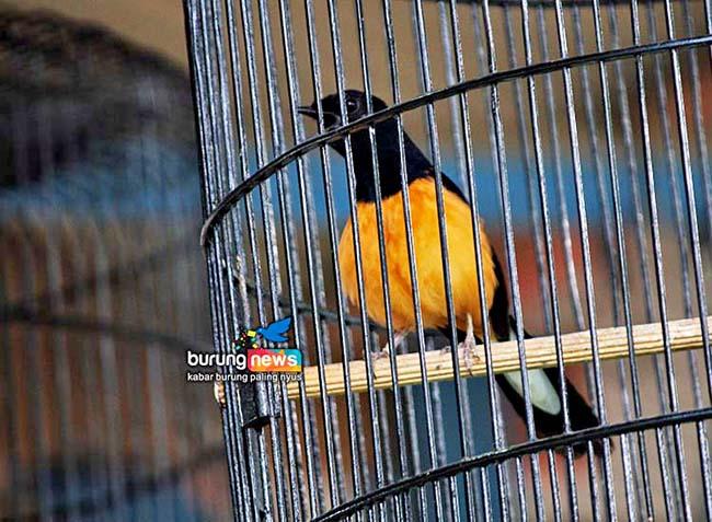 Kontes Cimantul Bc Jember Sabelo Murai Batu Gembung Yang Ungguli Non Gembung Burungnews
