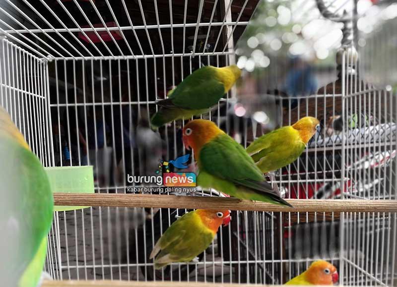 Ngaku Love Bird Mania Sejati Simak 7 Keunikan Dan Keistimewaan